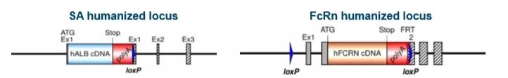 人源化SA和人源化FcRn由各自的内源性小鼠启动子驱动,取代了小鼠体内对应的基因表达