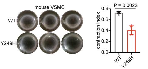 图1. 从WT、TesY249H基因敲入小鼠以及Tes敲除小鼠中分离的VSMCs胶原收缩测定的代表性图像和统计结果   赛业生物