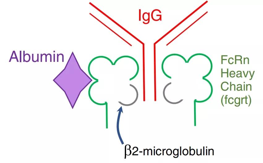 图1. FcRn与IgG和白蛋白结合的结构示意图[1-2]