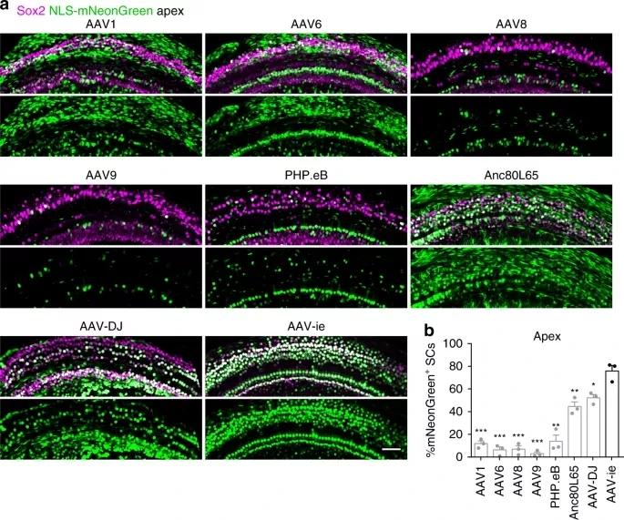 图1. AAV-ie能高效感染耳蜗支持细胞   赛业生物