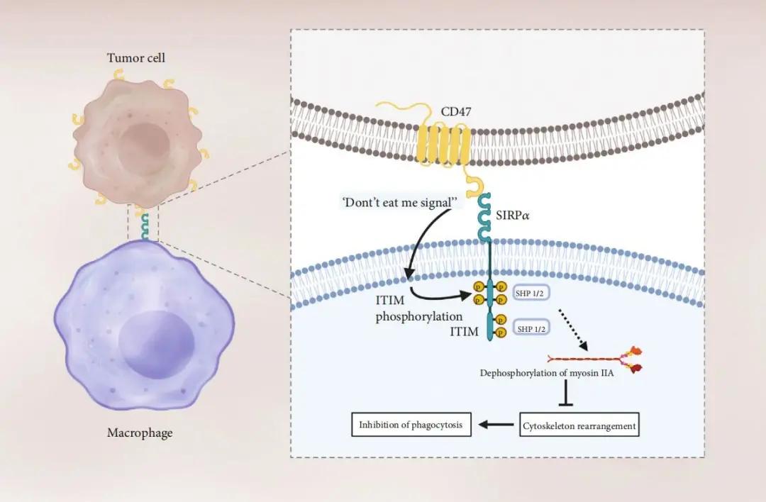 图1. CD47/Sirpα在抑制巨噬细胞的吞噬功能中起到重要作用