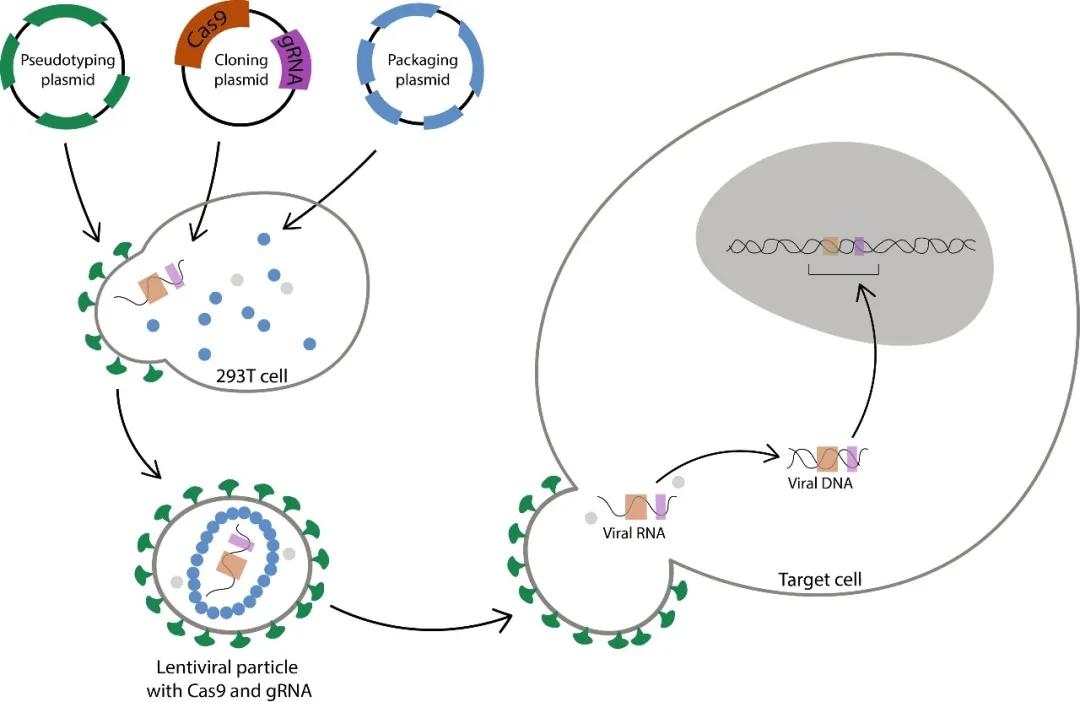 图1. 慢病毒感染进行基因敲除