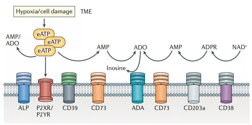 图1. TME中的ATP-ADO通路