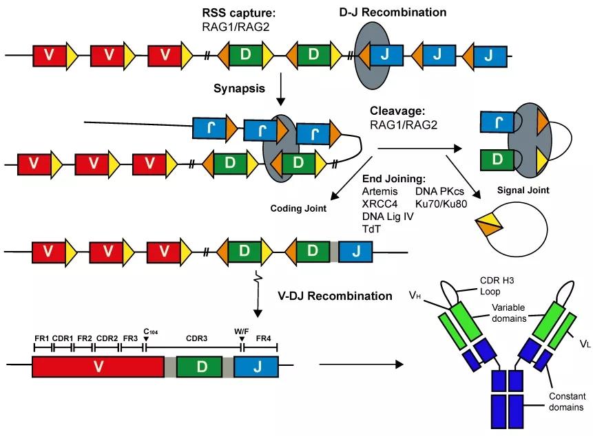 图1. V(D)J重排