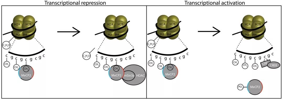 图1. MeCP2功能的分子机理