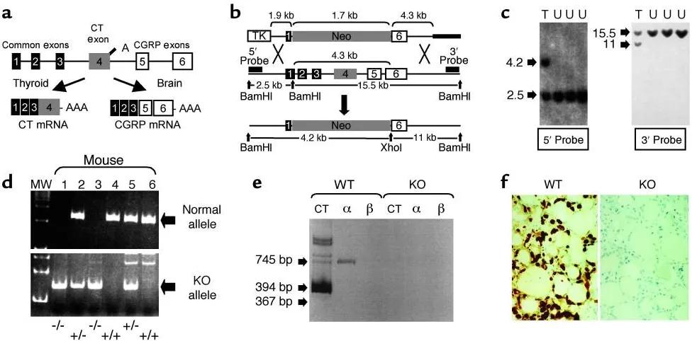 图2. 创建Calca基因缺失的小鼠   赛业生物