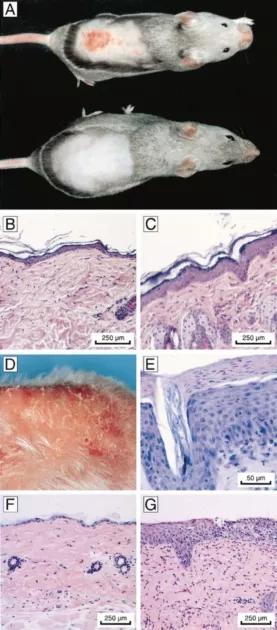 图2. 暴露于紫外线或 DMBA后对 csb-/-小鼠皮肤的急性和慢性影响   赛业生物