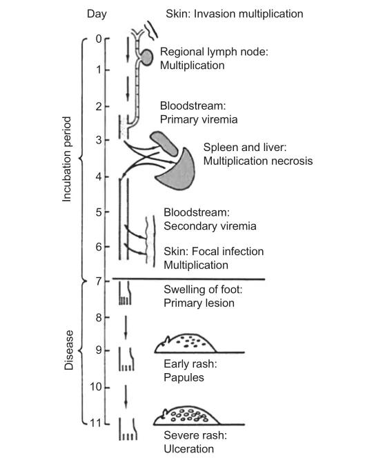 图2. 鼠痘发病机制   赛业生物