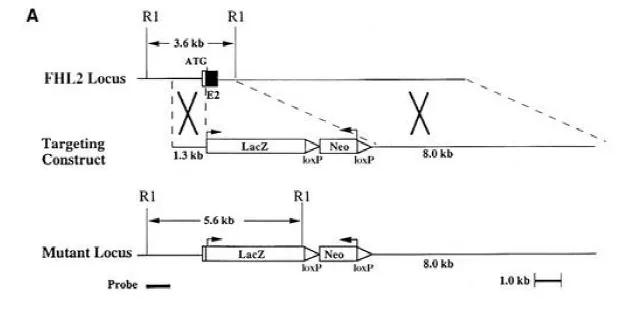 图2. Fhl2-/-小鼠打靶策略