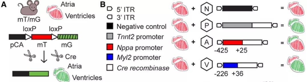 图2. Nppa和Myl2启动子插入表达Cre的AAV9载体中   赛业生物