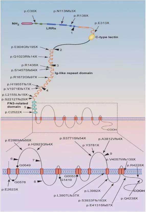 图2. PKD1蛋白结构及其绝对致病性和可能致病性变异位点示意图   赛业生物