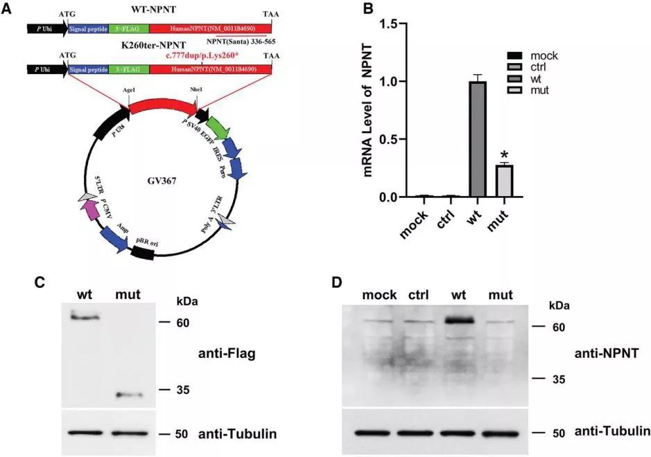 图2. WT-NPNT和K260ter-NPNT在293T细胞中的过表达 | 赛业生物