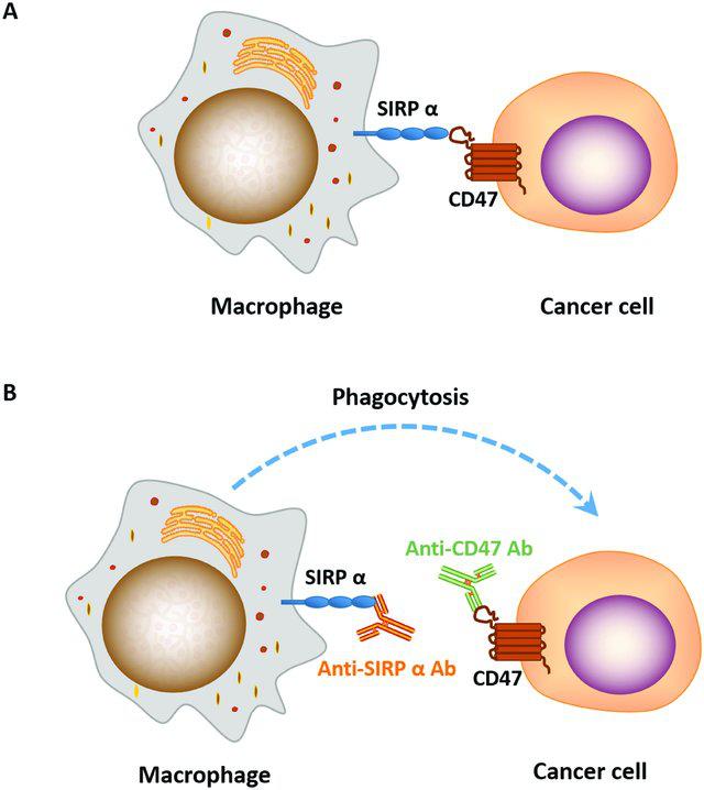 图2. 抗CD47/SIRPɑ抗体的作用示意图