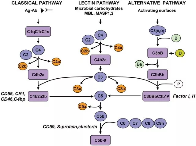 图2. 补体活化的三条途径