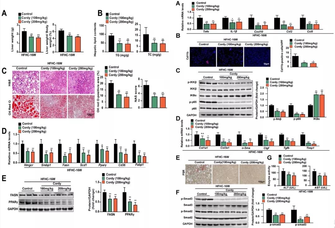 图2. 虫草素对HFHC诱导NASH小鼠的肝脂肪变性、炎症和纤维化的影响