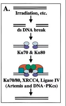 图2. DNA PKcs参与了DNA双链断裂的修复