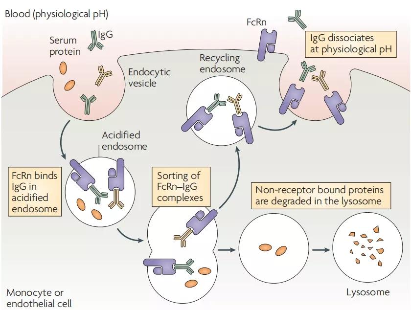 图2. FcRn对IgG的转运保护机制