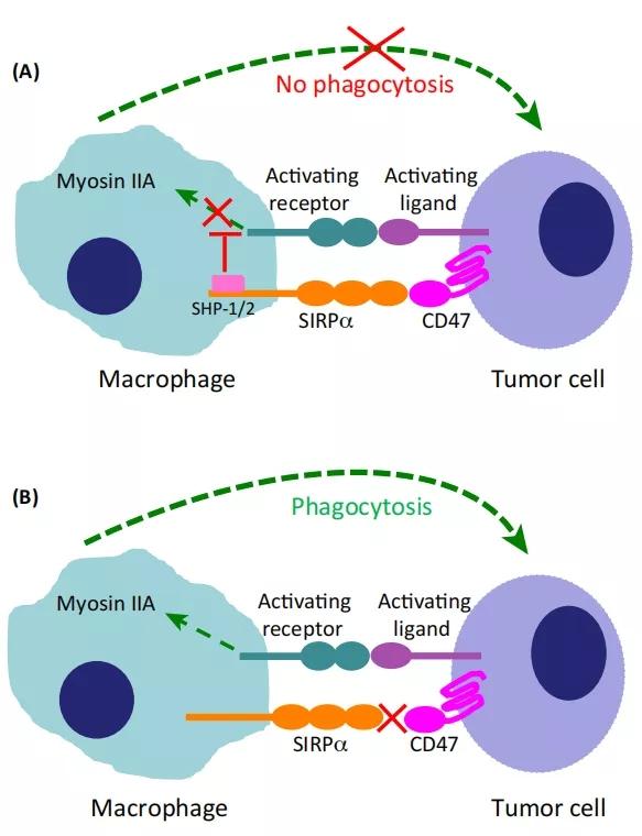 图2. 通过Sirpα-CD47信号通路来调节巨噬细胞的吞噬功能