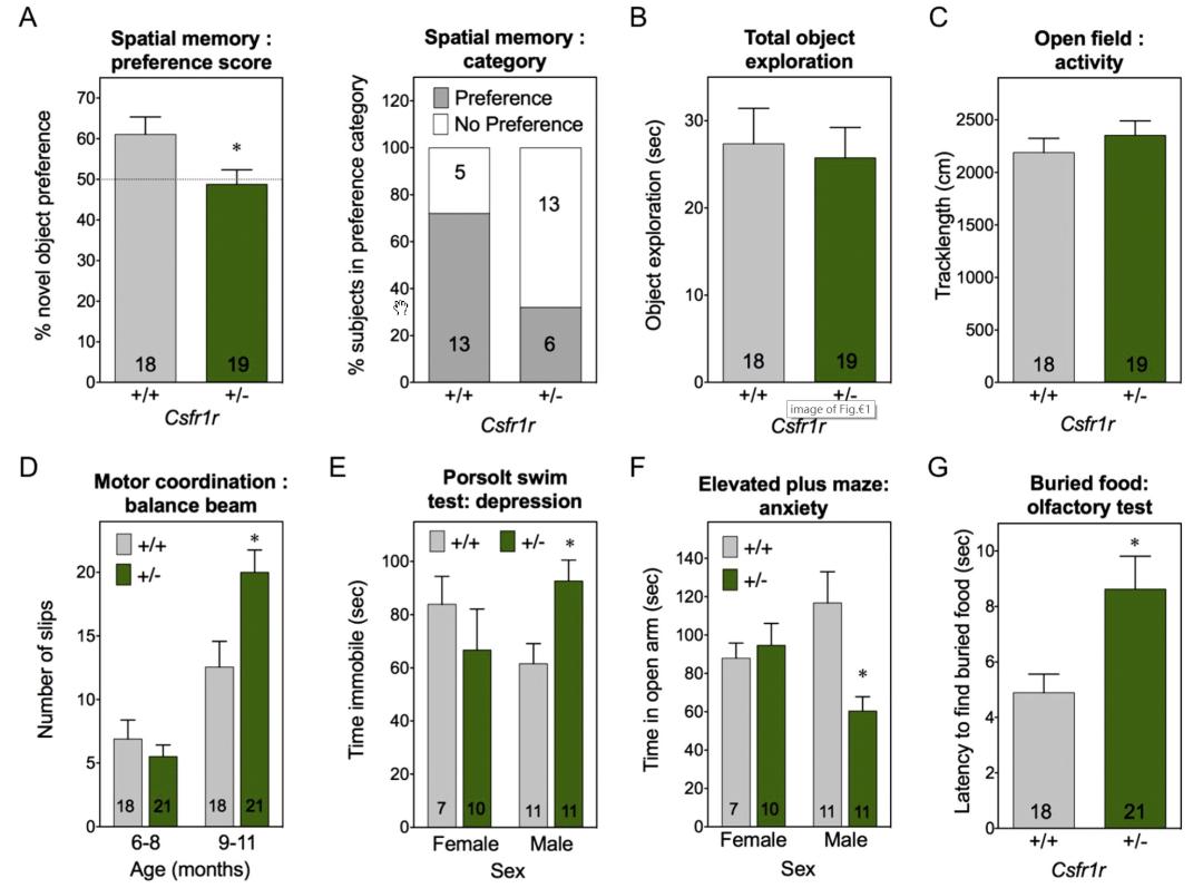图2. CSF1R+/-小鼠的多种行为发生改变