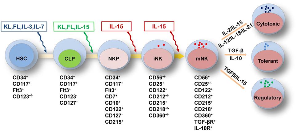 图2. NK细胞发育和发挥功能所需的细胞因子
