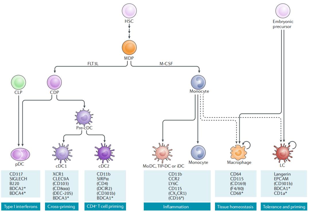 图2. DC亚群以及相关谱系