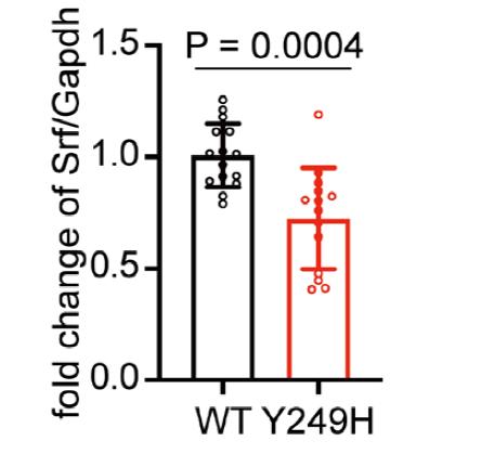 图2. 胸主动脉中Srf的mRNA表达   赛业生物