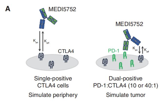 图3. 与PD-1- CTLA-4+ 单阳性细胞相比,MEDI575优先与PD-1+ CTLA-4+ 双阳性细胞上的CTLA-4结合-1