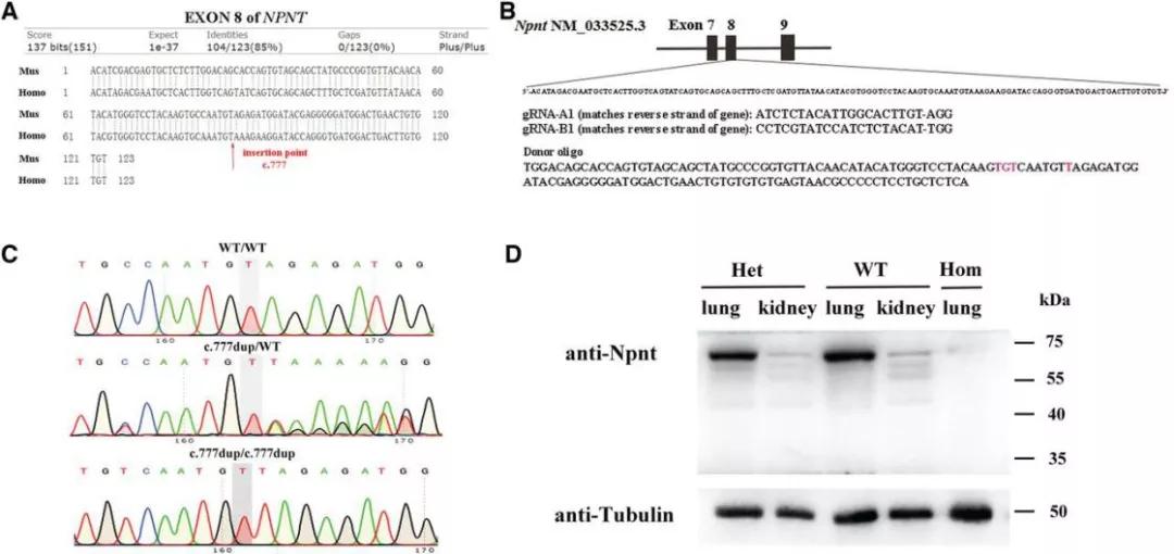 图3. 模拟纯合移码突变的基因敲入小鼠的构建 | 赛业生物