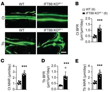 图3. VMH特异性初级纤毛KO小鼠骨骼生长增加   赛业生物
