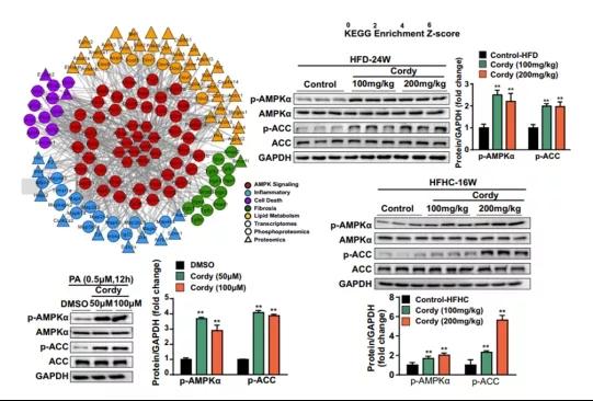 图3. 转录组和磷酸化蛋白质组学分析:AMPK途径可能是虫草素的靶标