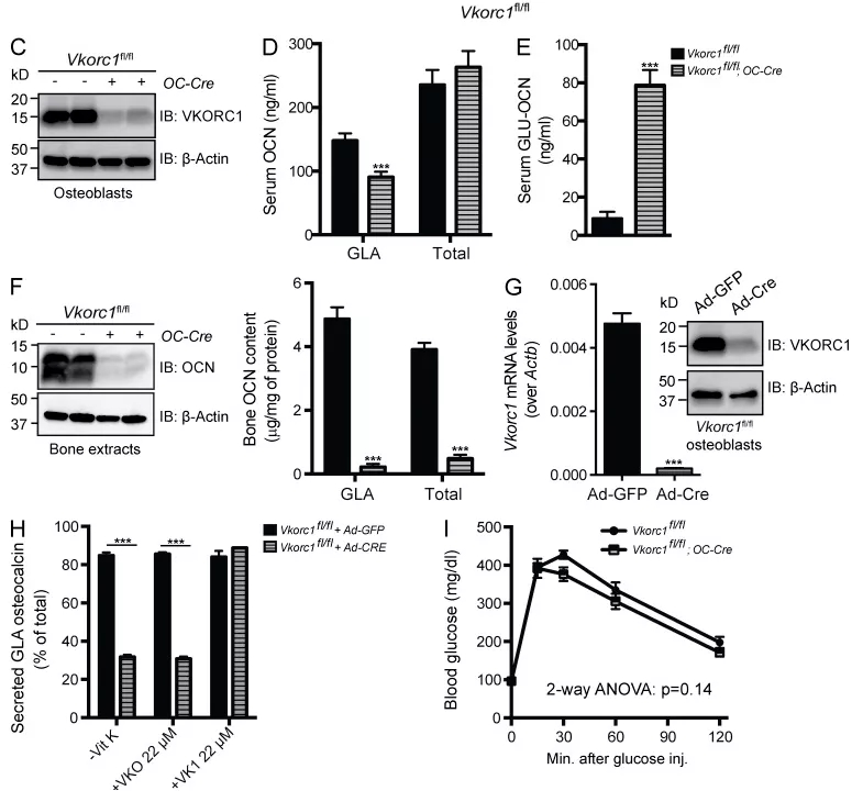 图3.  Vkorc1fl/fl;OC-Cre小鼠中OCN γ-羧化的有效降低 | 赛业生物