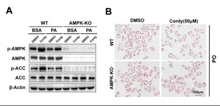 図4. LO2細胞でAMPKをノックアウトした後の細胞脂質代謝に対するコルジセピンの影響 | Cyagen Japan