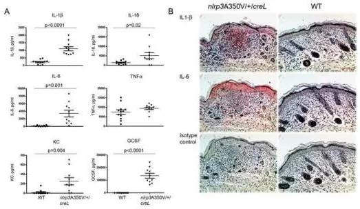 图4. Nlrp3 点突变小鼠血清和皮肤中多种细胞因子上调
