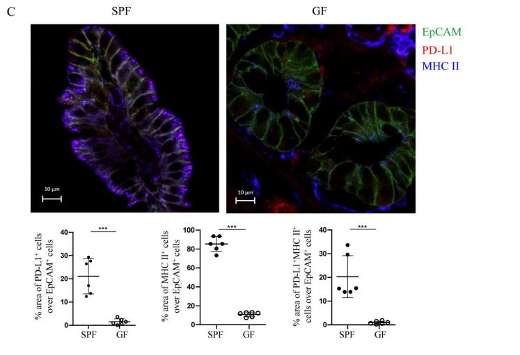 图4C. 免疫荧光实验显示:SPF小鼠回肠中的IECs大多数都表达MHC II,20%表达PD-L1;而GF小鼠中,MHC II和PD-L1的表达量都显著降低。