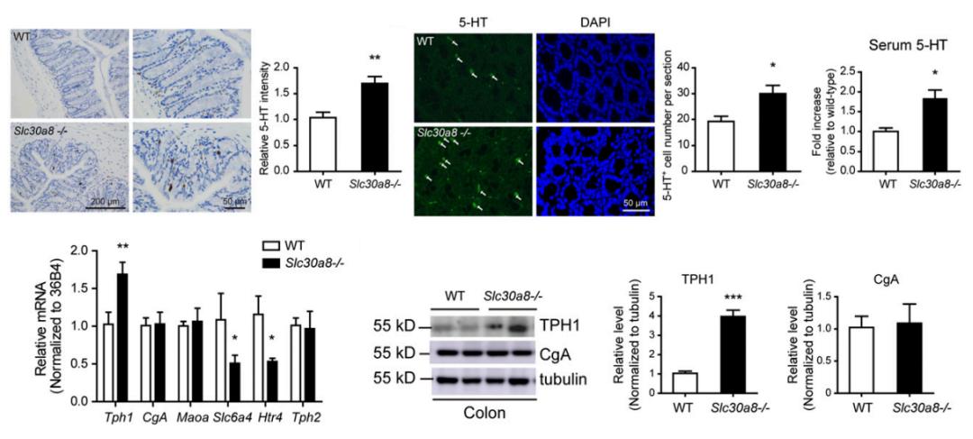 图4. ZnT8敲除提高了小鼠TPH1的水平以及5-HT的合成分泌