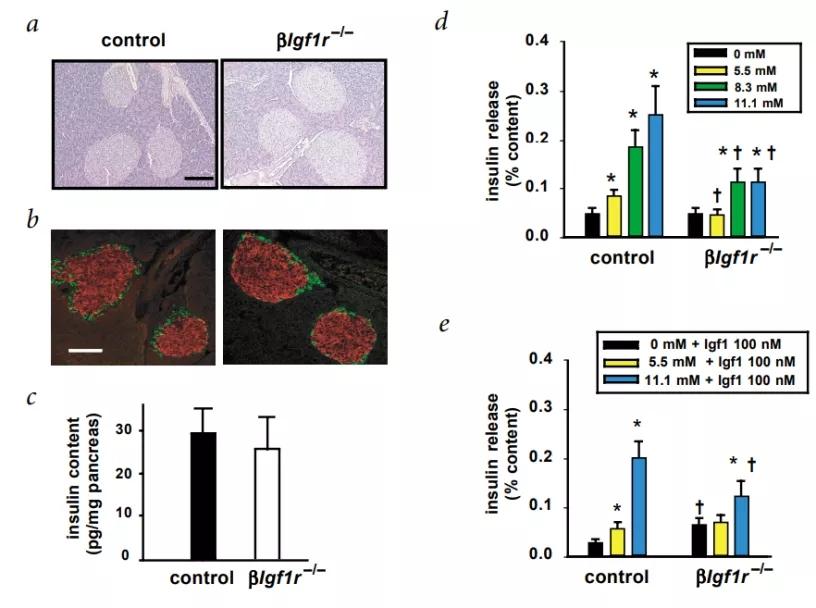 图5. β 细胞特异性Igf1r纯合敲除小鼠显示正常的胰岛形态及胰岛素含量,但也显示出葡萄糖刺激的胰岛素分泌减弱和失去Igf1介导的胰岛素分泌抑制