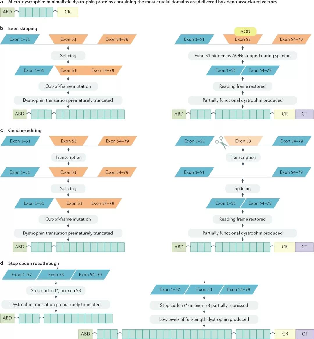 图5. DMD的基因治疗