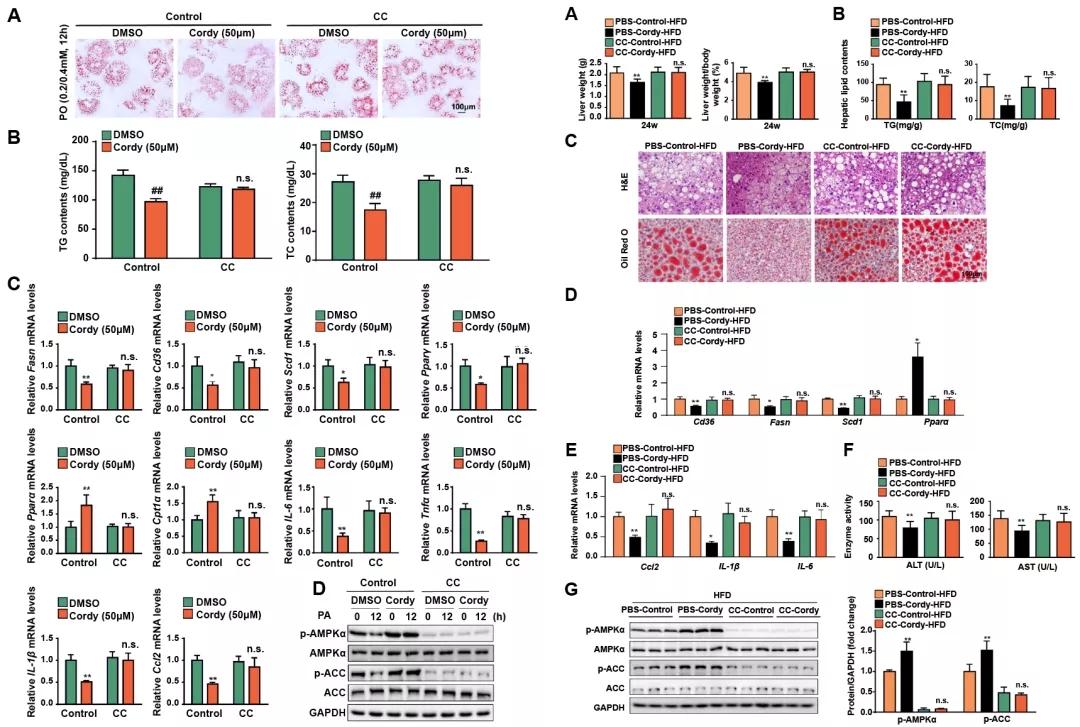 图5. 给予AMPK抑制剂后,虫草素对细胞和小鼠脂肪变性和炎症的影响
