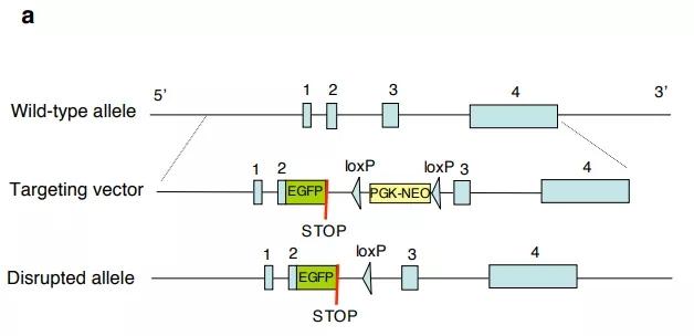 图5. Nlrp3基因敲除小鼠打靶策略