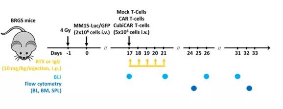 图6. BRGS小鼠体内实验流程示意图