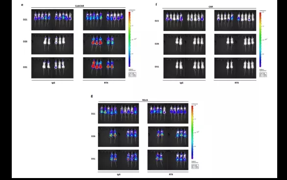 图7. CubiCAR-T细胞在小鼠体内显示出抗肿瘤活性,并能被RTX特异性清除