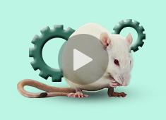 大鼠Cre-LoxP系统的高效利用