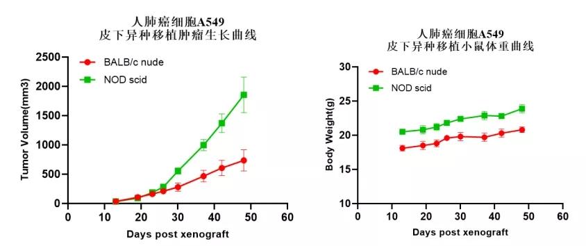 人肺癌细胞(A549)在NOD scid小鼠上能更有效地建立肿瘤模型