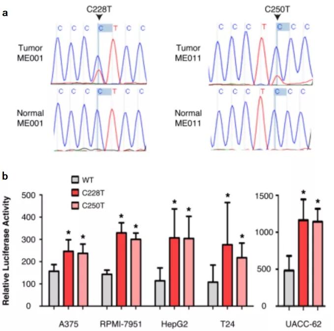 图 1. TERT启动子突变后能提高转录活性 | 赛业生物