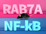 Novel Mouse Model for Researching RAB7A and NF-kB Activation