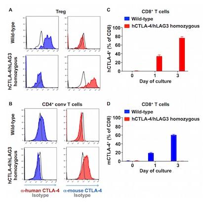 图1. hCTLA-4在hCTLA-4/hLAG3 小鼠中的表达模式与mCTLA-4在野生型小鼠中的表达模式一致