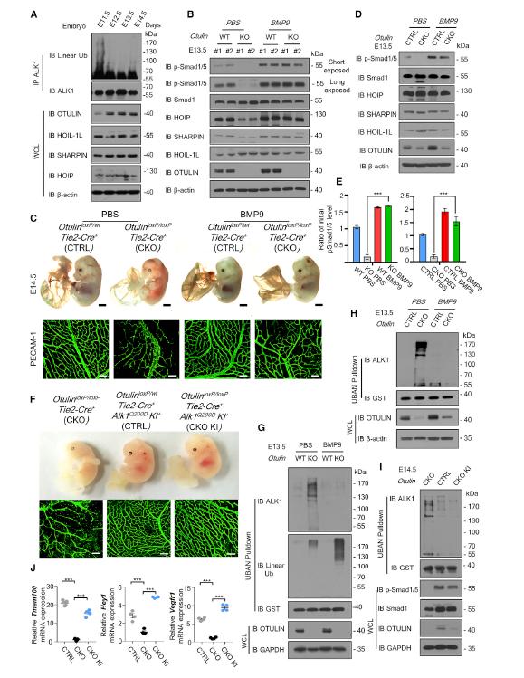 图2. 通过注射BMP9以及EC条件性敲入ALK1Q200D可以延长Otulin EC-KO胚胎的存活时间 | 赛业生物