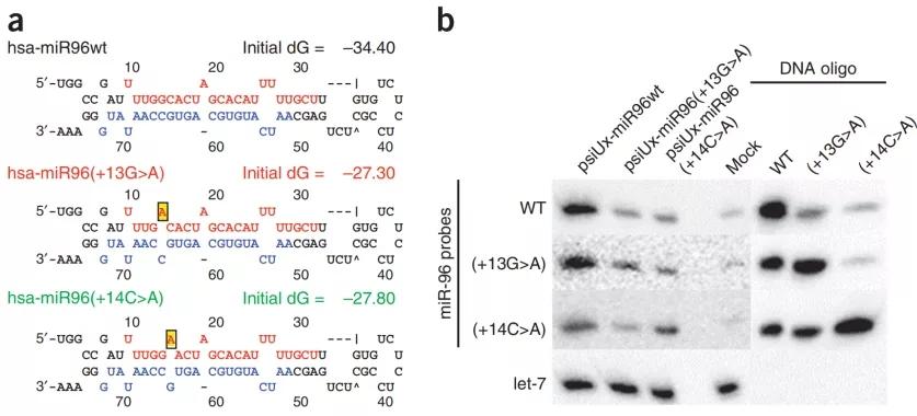 图2. miR96点突变导致其前体稳定性降低而降低其表达量 | 赛业生物