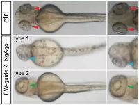 Cell Research 发文称NgAgo有效 但韩春雨的实验仍不可重复