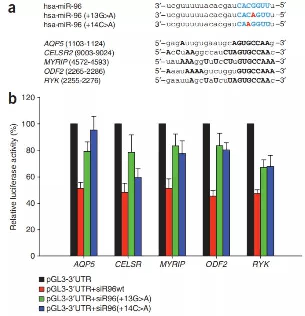 图3. miR96点突变导致其对靶基因的识别能力降低 | 赛业生物